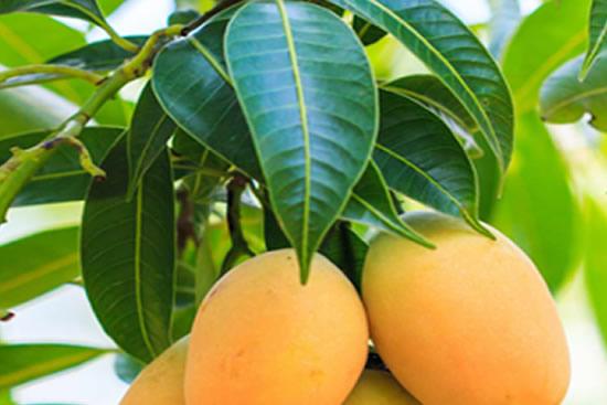 Health benefits of mango leaves